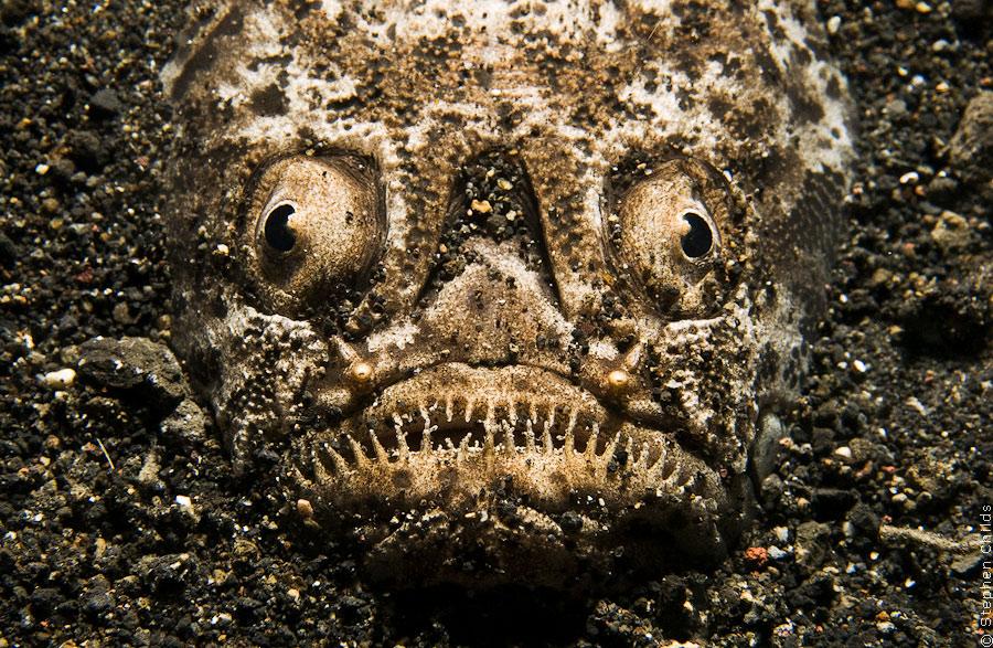 картинки звездочет рыба