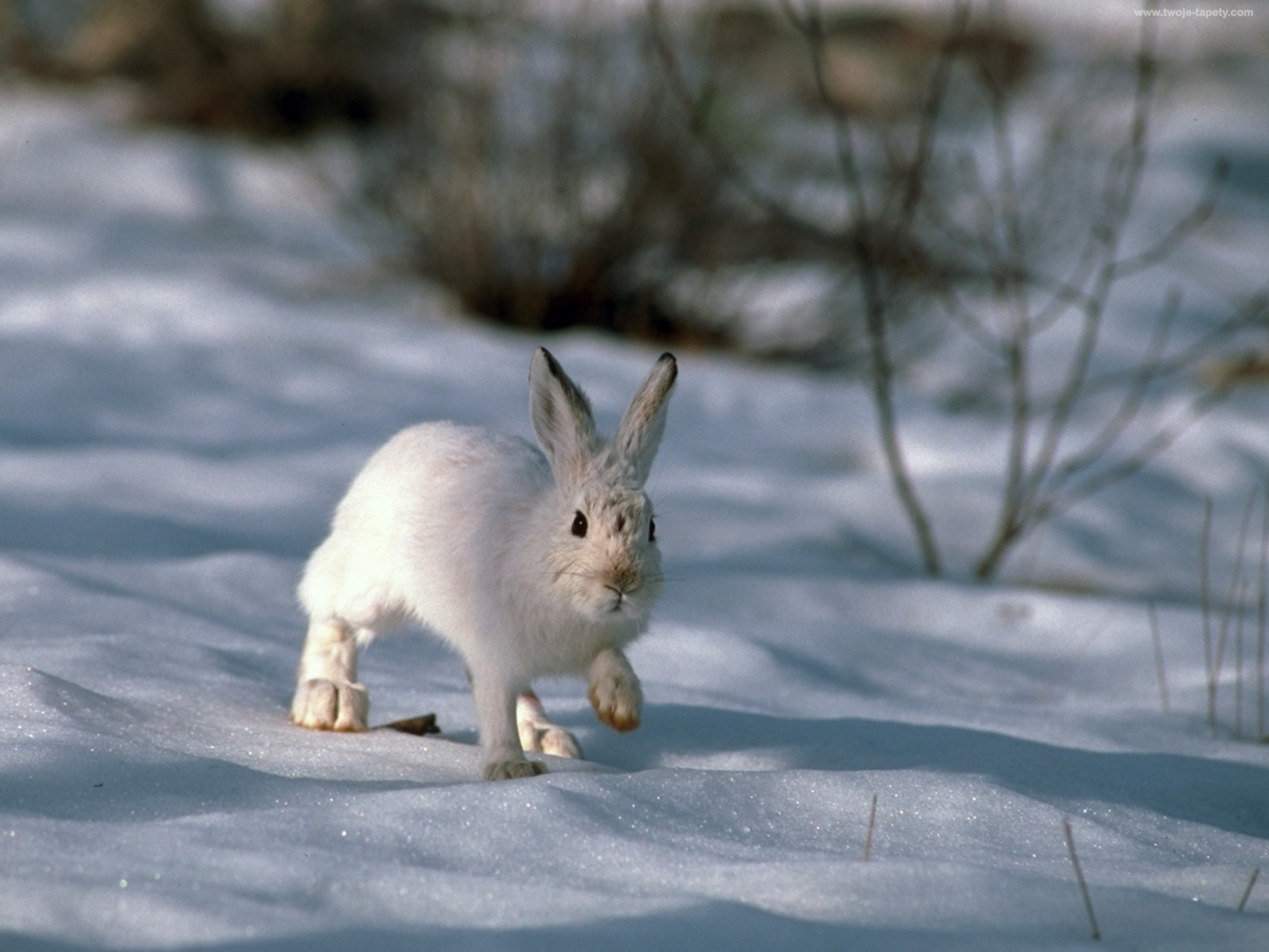 селедочный красивые картинки заяц на снегу имя дал ему