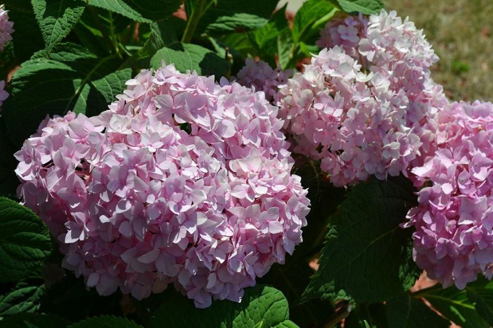 Endless Summer Hydrangea 2