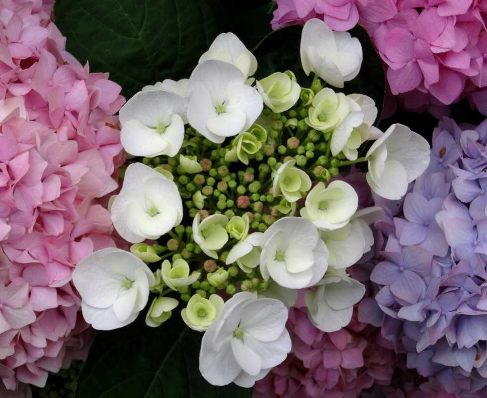 blossom bloom hydrangea close white blue pink purple 592381