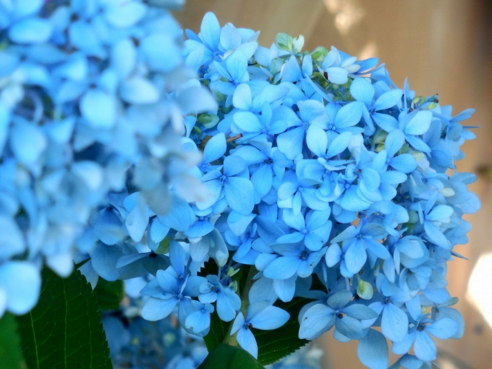 blue hydrangea flower blossom floral summer plant bloom 691582