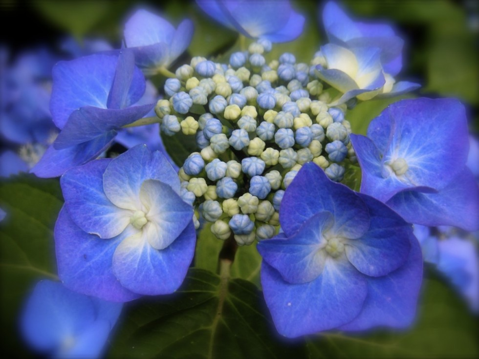 hydrangea blue hydrangea blue flower greenhouse hydrangea inflorescence blossom bloom 1058496