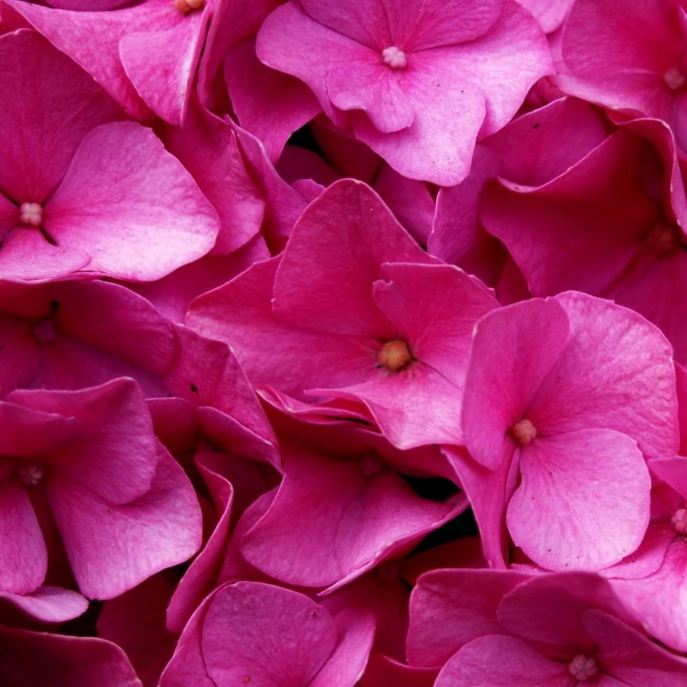 hydrangea flower blossom bloom pink plant garden balcony 1203363
