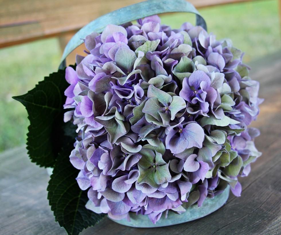 hydrangea flower blossom bloom summer blue purple green 511852