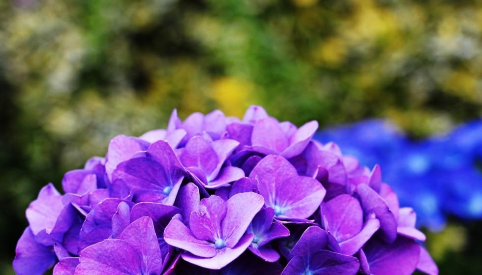 hydrangea flower ornamental flower plant ornamental plant flowers hydrangea flower blue 575215