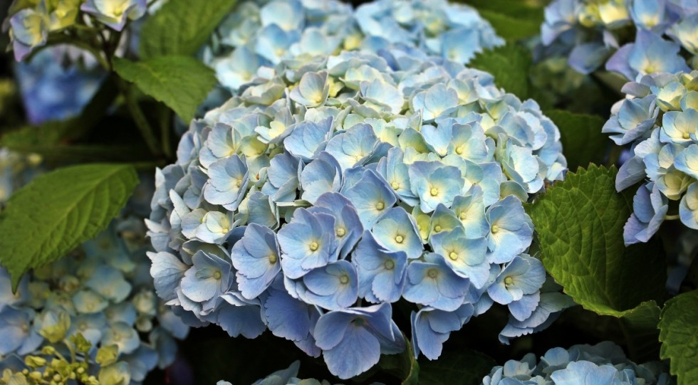 hydrangea flower ornamental flower plant ornamental plant flowers hydrangea flower blue 592394