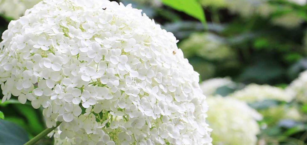 hydrangea flower ornamental flower plant ornamental plant flowers hydrangea flower white 571228