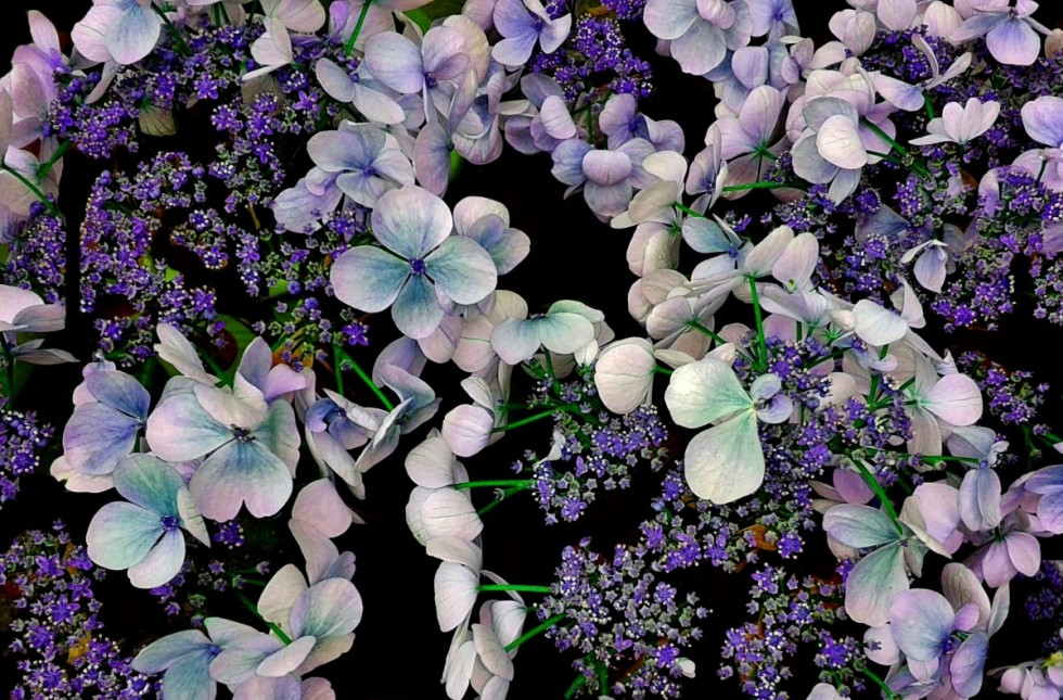 hydrangea flowers flower garden purple inflorescence flora bloom 731726