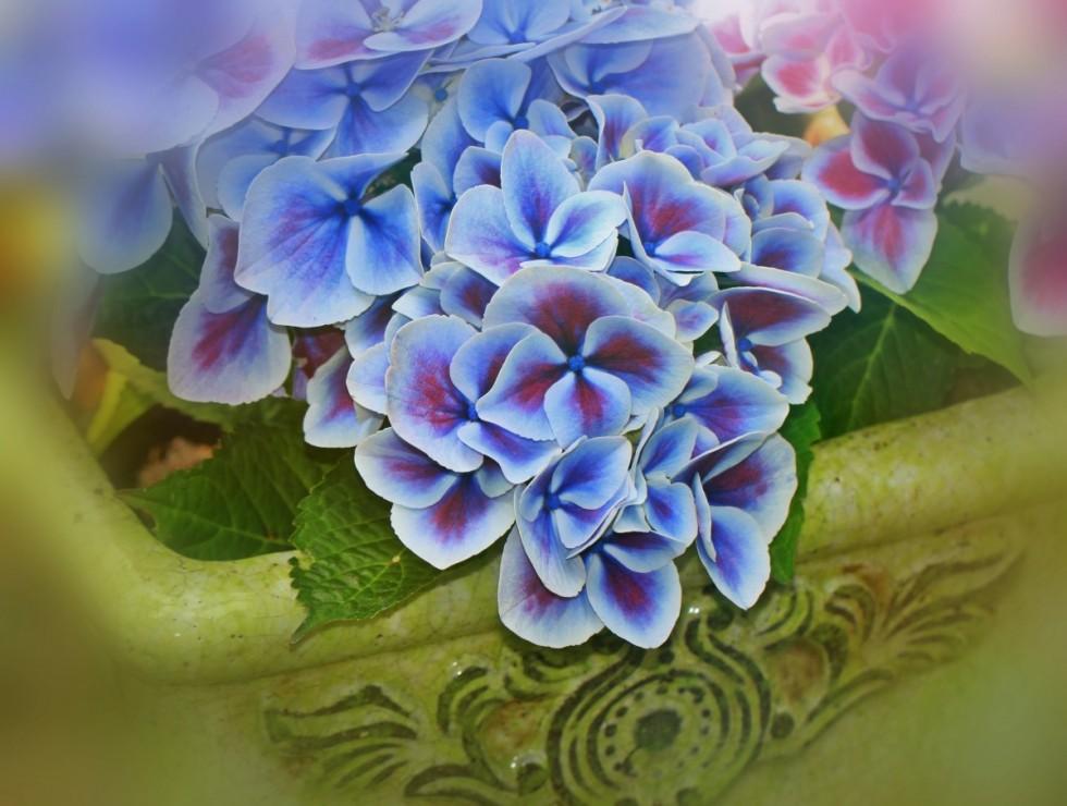 hydrangea flowers inflorescence genus ornamental shrubs flora hydrangea plants violet 1071073