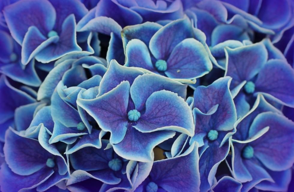 hydrangea hydrangea flowers blossom bloom flower blue garden plant 567207