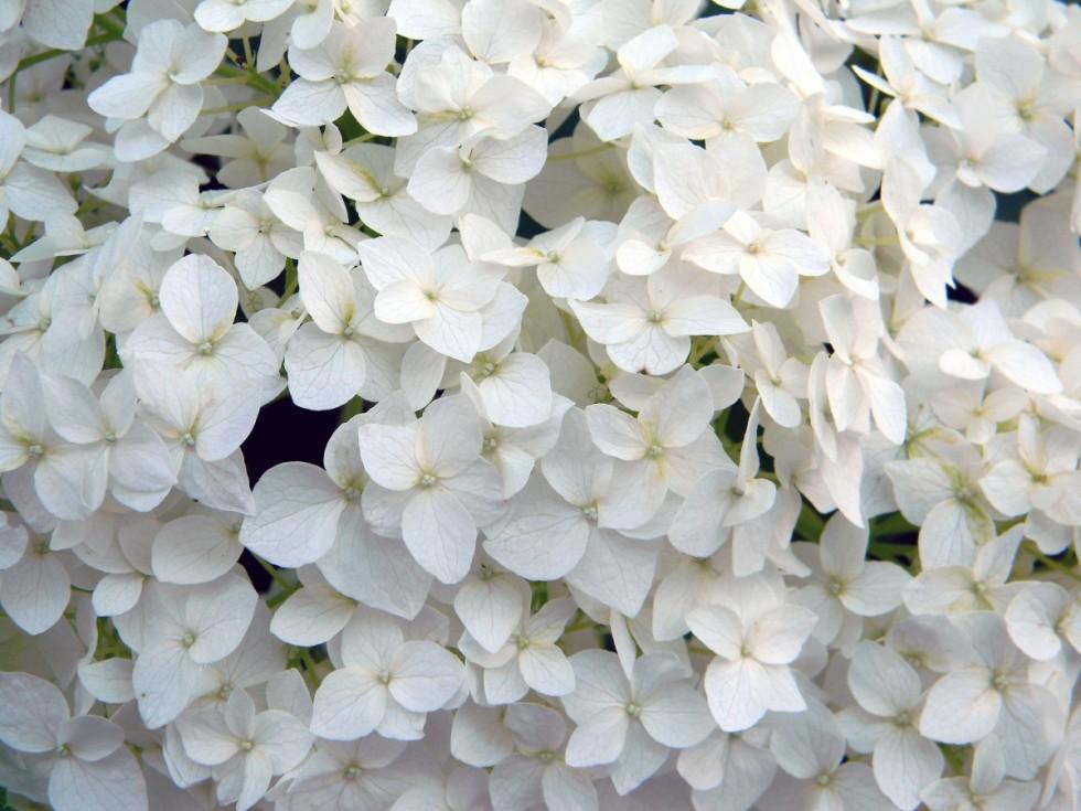 hydrangea white flower hydrangea special white hydrangea white plant closeup bush 622131