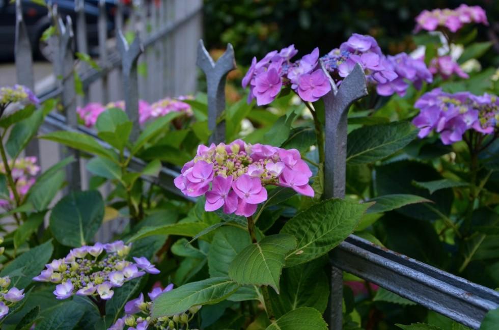 hydrangeas fence flowers nature purple garden fence garden pink 731721