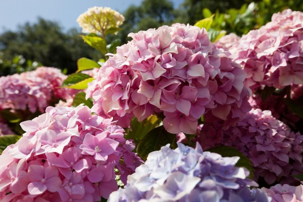 hydrangeas flowers hydrangea genus hydrangea plants hydrangeaceae ornamental shrubs pink 943787