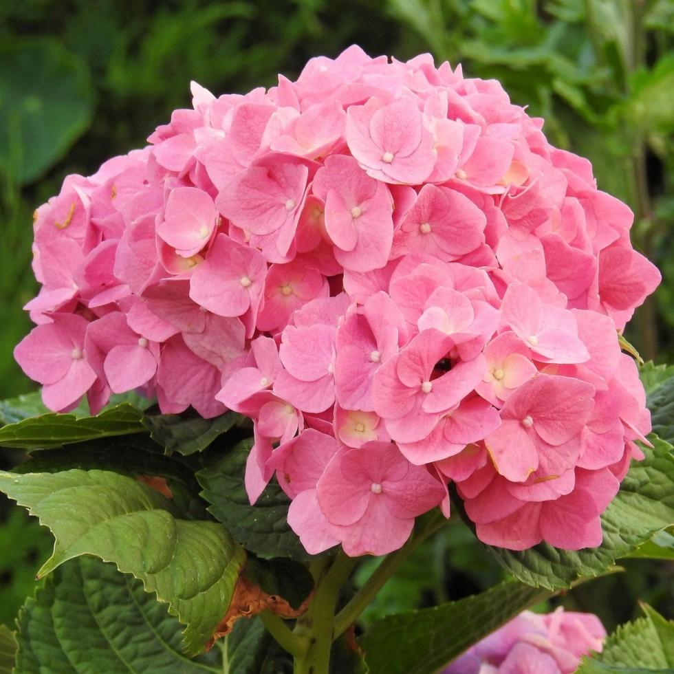 hydrangeas flowers pink flower garden inflorescence 558828
