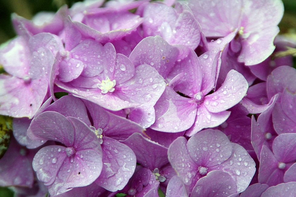 hydrangeas hydrangea genus hydrangea plants hydrangeaceae ornamental shrubs pink blossom 750899
