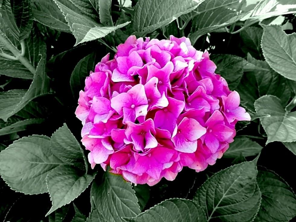 hydrangeas hydrangea genus hydrangea plants hydrangeaceae ornamental shrubs pink blossom 912158