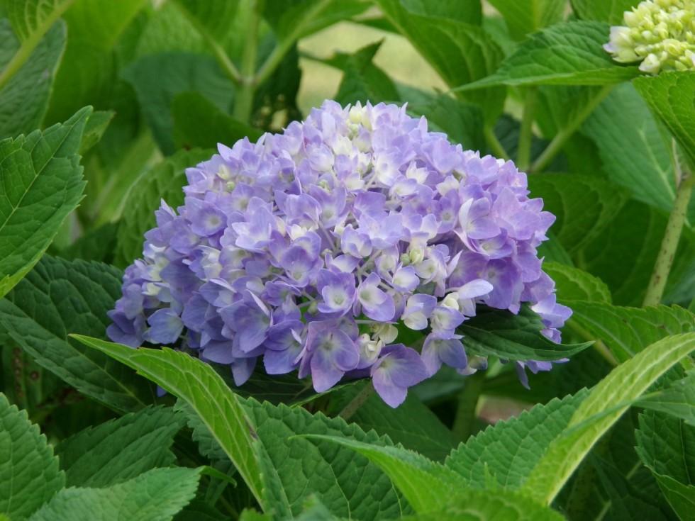 shrub hydrangea plant flower garden green summer nature 713459